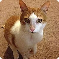 Adopt A Pet :: Peetie - N. Billerica, MA