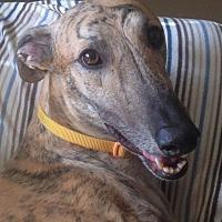 Adopt A Pet :: Indy (Brady) - Tucson, AZ