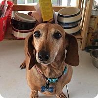 Adopt A Pet :: Penny Pebbles - Marcellus, MI
