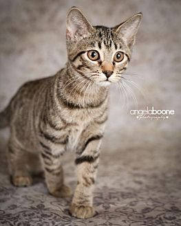 Domestic Shorthair Kitten for adoption in Hastings, Minnesota - Trick (and Vito)