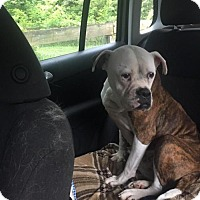 American Bulldog/English Bulldog Mix Dog for adoption in Dumont, New Jersey - Isabella