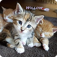 Adopt A Pet :: Willow - Loves to Snuggle! - Huntsville, ON