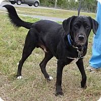 Adopt A Pet :: Bear - Gainesville, FL