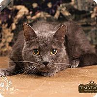 Russian Blue Cat for adoption in Ottawa, Kansas - Blue *In Foster* Sponsored
