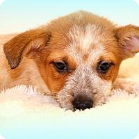Adopt A Pet :: Piper~ meet me! - Glastonbury, CT