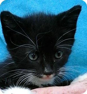 Domestic Shorthair Kitten for adoption in Colonial Heights, Virginia - Ho Ho