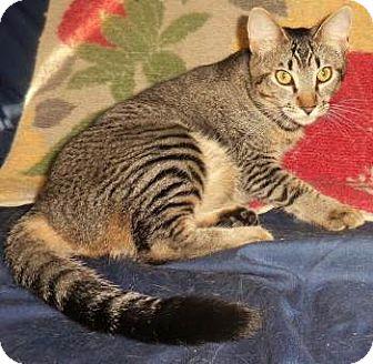 Abyssinian Kitten for adoption in Davis, California - Abby