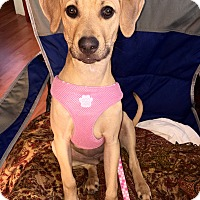 Black Mouth Cur Mix Dog for adoption in Toms River, New Jersey - Autumn