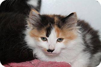 Domestic Longhair Kitten for adoption in Butner, North Carolina - Amber