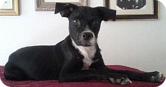 Pug/Beagle Mix Dog for adoption in Gilbert, Arizona - Edward