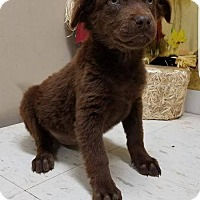 Shepherd (Unknown Type) Mix Puppy for adoption in New York, New York - Ruth