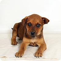 Adopt A Pet :: Preston BoxerHeeler - St. Louis, MO