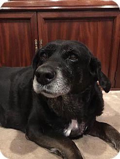 Labrador Retriever Dog for adoption in Yorktown, Virginia - Labby Girl