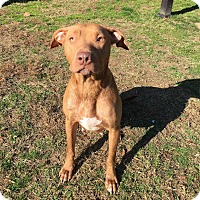 Adopt A Pet :: Molly - Colonial Heights animal shelter, VA