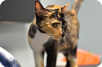 Domestic Shorthair Cat for adoption in Atlanta, Georgia - Mama Emma	161696