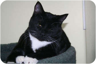 Domestic Shorthair Cat for adoption in Edmonton, Alberta - Tux