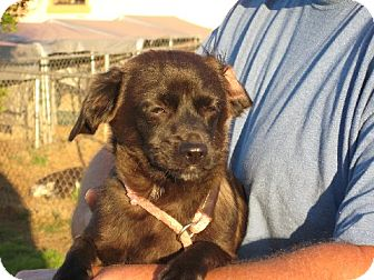 Dachshund/Shih Tzu Mix Dog for adoption in Greenville, Rhode Island - Gomez