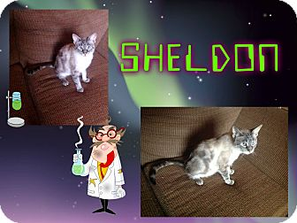 Siamese Cat for adoption in Washington, D.C. - Sheldon