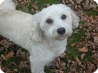 bichon frise maltese mix dumpling adopted dog mississauga on bichon frise 3616