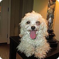 Adopt A Pet :: Phoebe - Apex, NC