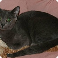 Domestic Shorthair Cat for adoption in Salisbury, North Carolina - Rowdy