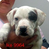 Adopt A Pet :: IKE - baltimore, MD