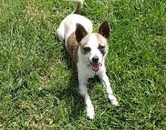 Chihuahua Mix Dog for adoption in Midway City, California - Brooke