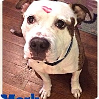 Adopt A Pet :: Mork - Heart on his face! - Oak Creek, WI
