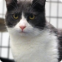 Domestic Shorthair Cat for adoption in Toledo, Ohio - SPUNKY BOY