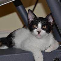 Domestic Shorthair Cat for adoption in Houston, Texas - Hamlet