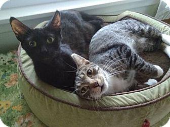 Domestic Shorthair Cat for adoption in Wayzata, Minnesota - Gabby