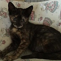 Domestic Shorthair Kitten for adoption in Miami, Florida - Alice