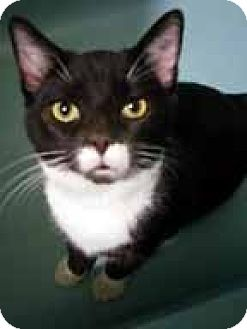 Domestic Shorthair Cat for adoption in Germantown, Maryland - Milo