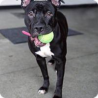 Adopt A Pet :: Diamond - Berkeley, CA