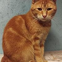 Domestic Shorthair Cat for adoption in Brainardsville, New York - AJ