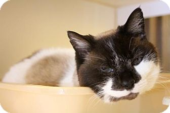Snowshoe Cat for adoption in Versailles, Kentucky - Holly Bell