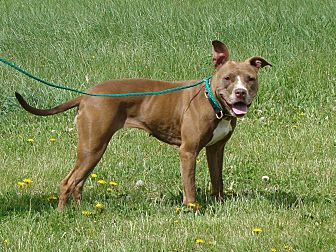 Pit Bull Terrier Mix Dog for adoption in Cameron, Missouri - Roberta ( Aka Berta Bean)
