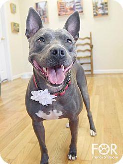 American Pit Bull Terrier Mix Dog for adoption in Huntsville, Alabama - Zeva
