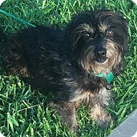 Adopt A Pet :: Nala - McKinney, TX
