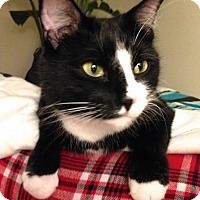 Domestic Shorthair Cat for adoption in Lambertville, New Jersey - Wilson