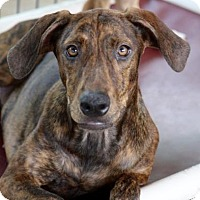 Adopt A Pet :: Icee - Picayune, MS