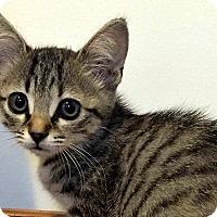 Domestic Shorthair Kitten for adoption in Durham, North Carolina - Minou