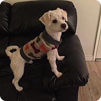 Bichon Frise Mix Dog for adoption in Beverly Hills, California - Jimmy