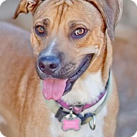 Rhodesian Ridgeback Mix Dog for adoption in Chandler, Arizona - REMINGTON