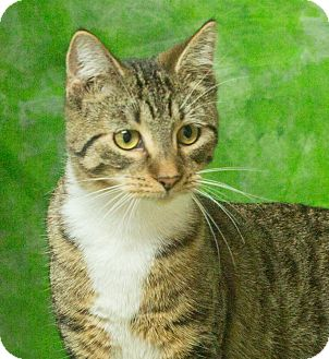 Domestic Shorthair Kitten for adoption in Elmwood Park, New Jersey - Annie