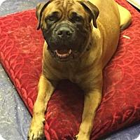 Mastiff Dog for adoption in Del Rio, Texas - Chevy