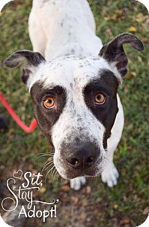 Pointer/American Bulldog Mix Dog for adoption in DFW, Texas - Coco
