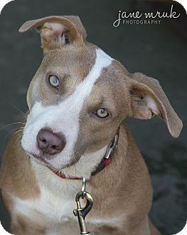 Catahoula Leopard Dog/Labrador Retriever Mix Dog for adoption in Middletown, Delaware - Davina