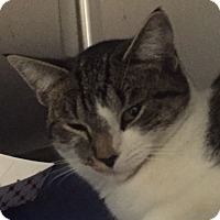 Domestic Shorthair Kitten for adoption in Manchester, New Hampshire - Coral-I'm a kitten!