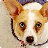 Adopt A Pet :: Hazel Blue - Monrovia, CA